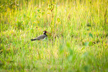 lapwing: Wild red-wattled lapwing in Thailand