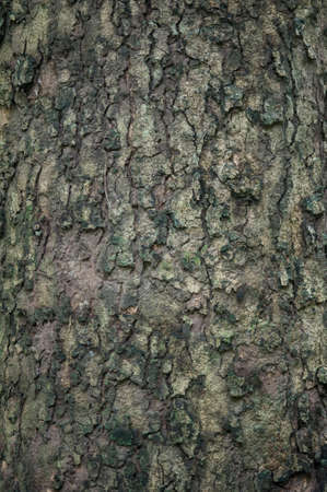 tree bark: background of tree bark texture
