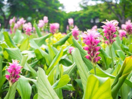 Curcuma alismatifolia or Siam tulip or Summer tulip in the garden nature Thailand with soft focus color filtered background.