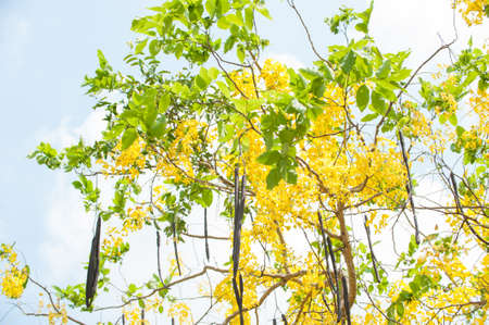 fistula: The blooms of Esala. The beautiful golden yellow flowers of the tree were in full bloom. Purging Cassia ( Cassis fistula Linn ) national flower of Thailand
