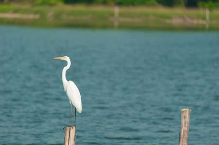 egret: Great White Egret Stock Photo