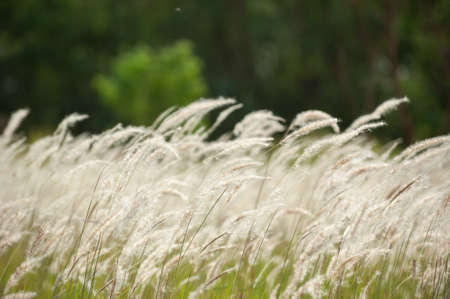 cylindrica: Imperata cylindrica Beauv,Grass field landscape in nature