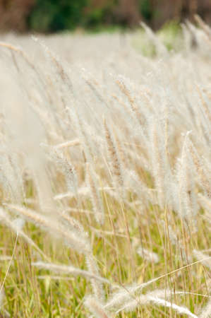imperata: Imperata cylindrica Beauv,Grass field landscape in nature