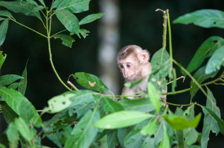 heed: Macaco monkey baby in the natural forest, animal in nature