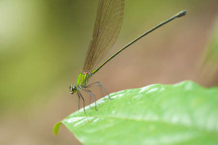 damsel: Emerald Damselfly (Lestes sponsa)