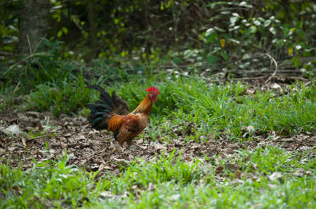 fowl: jungle fowl