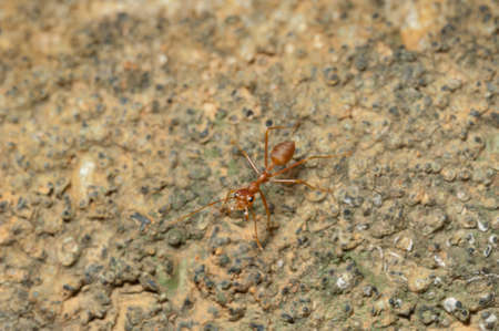 antrey: closed up : Red ant  working on tree  in the garden