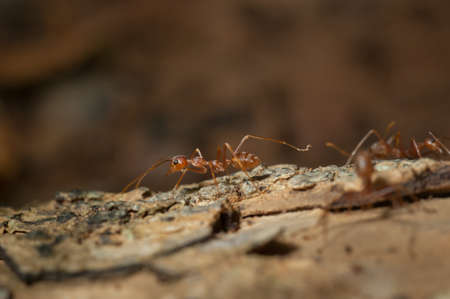 WEAVER: closed up : Red ant  working on tree  in the garden