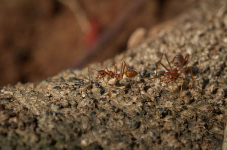 formica: closed up : Red ant  working on tree  in the garden