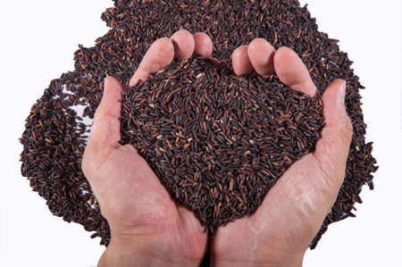 raw purple riceberry rice, in hands holding on white background Stock Photo