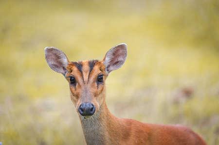 mule deer: Barking deer in a field of grass ,Khao Yai National Park