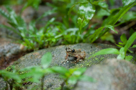 Common frog macro, portrait in its environment. Thailand
