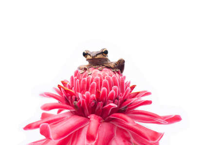 common hop: Frog on White Background - macro shot, the cute tree frog