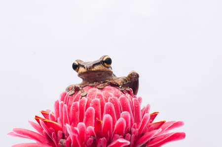 Frog on White Background - macro shot, the cute tree frog