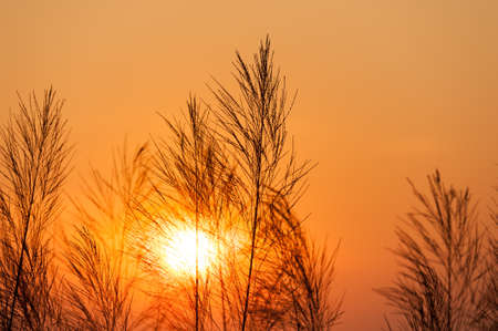 Silhouette of reeds grass,on the background of the sunset. Stock Photo