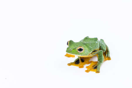 Black-webbed flying tree frog, Rhacophorus kio, on white background Stock Photo