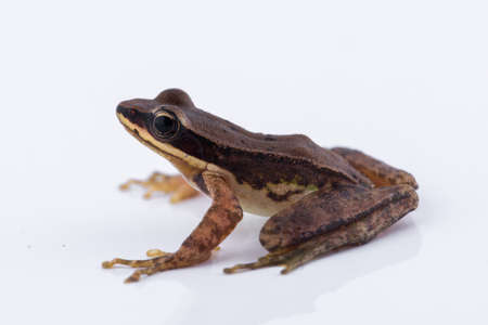 Amolops archotaphus : frog on white background.