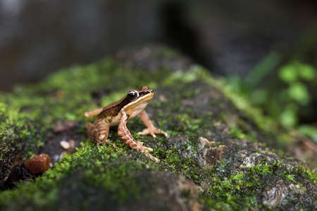 Amolops archotaphus : frog on white background.