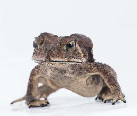 Asian common toad in fell of nature ,Amphibian of Thailand