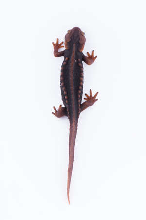 Salamander (Himalayan Newt) on white background and Living On the high mountains at doiinthanon national park,Thailand Stock Photo