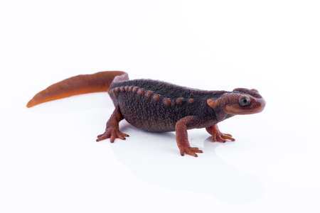newt: Salamander (Himalayan Newt) on white background and Living On the high mountains at doiinthanon national park,Thailand Stock Photo