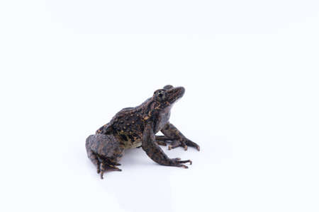 Odorrana andersonii : frog on white background.