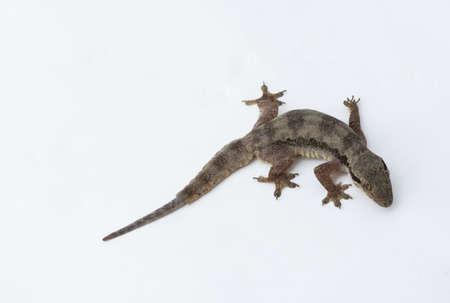 textured wall: House lizard (Hemidactylus platyurus) on white background Stock Photo