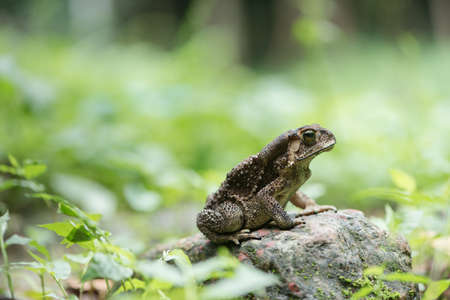 Asian common toad in feel of nature ,Amphibian of Thailand Stock Photo