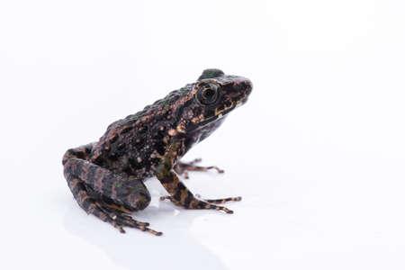 Odorrana schmackeri (Boettger, 1892) : frog on white background ,Amphibians of Thailand Stock Photo