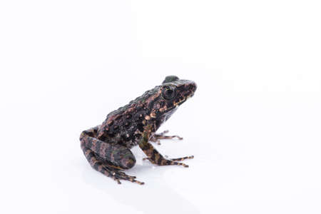 Odorrana schmackeri (Boettger, 1892) : frog on white background ,Amphibians of Thailand Stock Photo