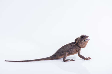 Scale-Bellied Tree Lizard on white background