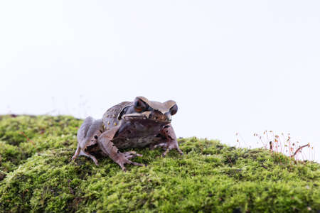 Megophrys parva (Lesser Stream Horned Frog) : frog on white background. Amphibian of Thailand Stock Photo