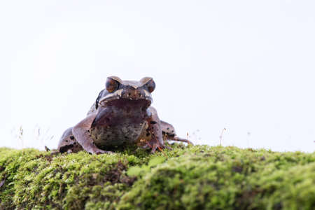 Megophrys parva (Lesser Stream Horned Frog) : frog on white background. Amphibian of Thailand Stock Photo