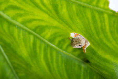 Twin-spotted Treefrog (Rhacophorus bipunctatus) looking curious on green leaf