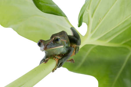Close-up of  Feas Tree Frog on a white background ,Thailand