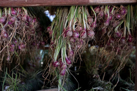 Shallots red onion (Allium ascalonicum) at vegetable garden farmland in Northeast of Thailand
