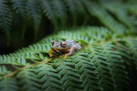 Rhacophorus bipunctatus (Double-spotted Tree frog, Orange-webbed Tree Frog, Twin-spotted Tree Frog). Tree Frog on Large Palm Leaf at tropical rainforests in North Thailand