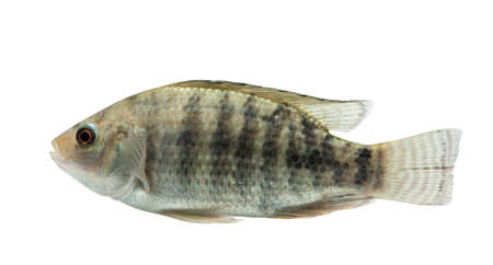 Oreochromis niloticus ,Fresh raw fish isolated on white background with clipping path