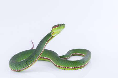 Green pit viper bites on white background ,Snake of Thailand