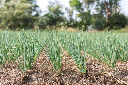 Green shallot growth in farmland(Allium ascalonicum),vegetable garden farmland in Northeast of Thailand.
