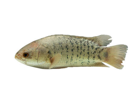 A fish has name Climbing Perch or Scientific name Anabas testudineus isolated on white background ,It is economic fish ,Clipping path