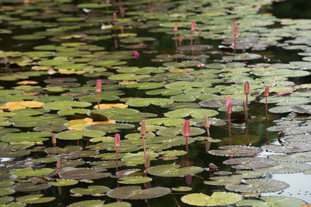 Beautiful lotus flower in the pond Banque d'images