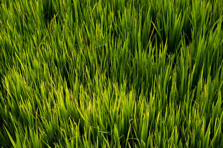 Rice field , The beautiful of rice field from the top view background in Thailand. Banco de Imagens