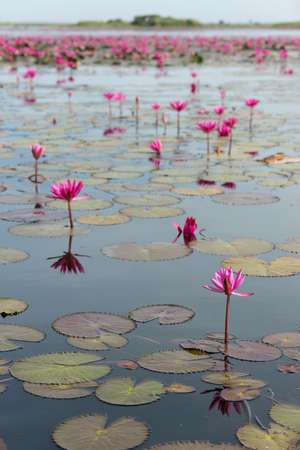 The sea of Red Lotus (Pink water lilies lake) - Beautiful Nature Landscape red Lotus sea in the morning with fog blurred background in the bright dayat Kumphawapi, Udonthani province, Thailand. Stockfoto