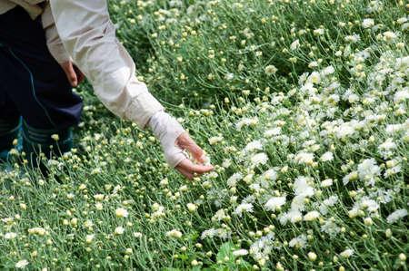 Chrysanthemum Field : Thai women picking  white chrysanthemum flowers for tea in a field in Thailand