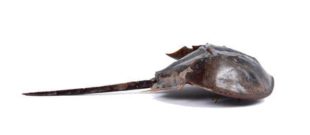 Tachypleus gigas isolated on white background with clipping path , specimen a large marine arthropod , a long tail-spine, and ten legs.