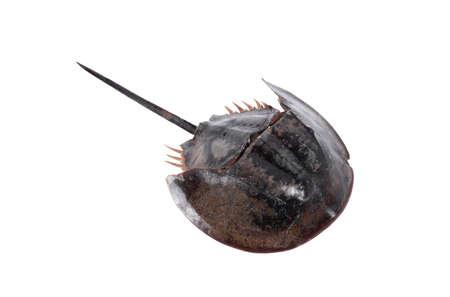 Tachypleus gigas isolato su sfondo bianco con tracciato di ritaglio, esemplare di un grande artropode marino, una lunga coda e dieci zampe.