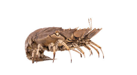 Stomatopods isolated on white background with clipping path , dry specimen animal marine .