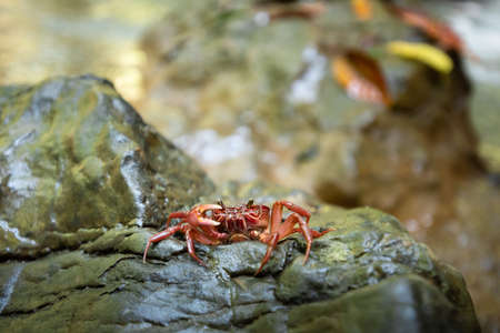 Red crab at waterfall.Natural background waterfall. waterfall Colorful leaves. waterfall thailand tropical