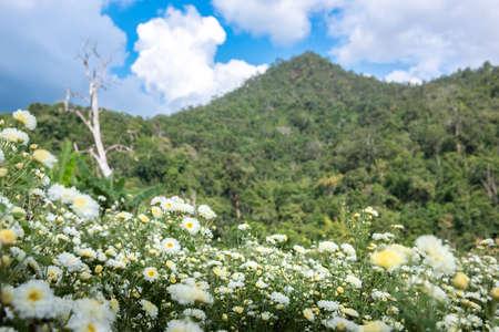 Chrysanthemum Field: Witte chrysanthemumbloem in aanplantingsgebied met blauwe hemelachtergrond. voor het maken van Chinese kruidengeneeskunde. Stockfoto
